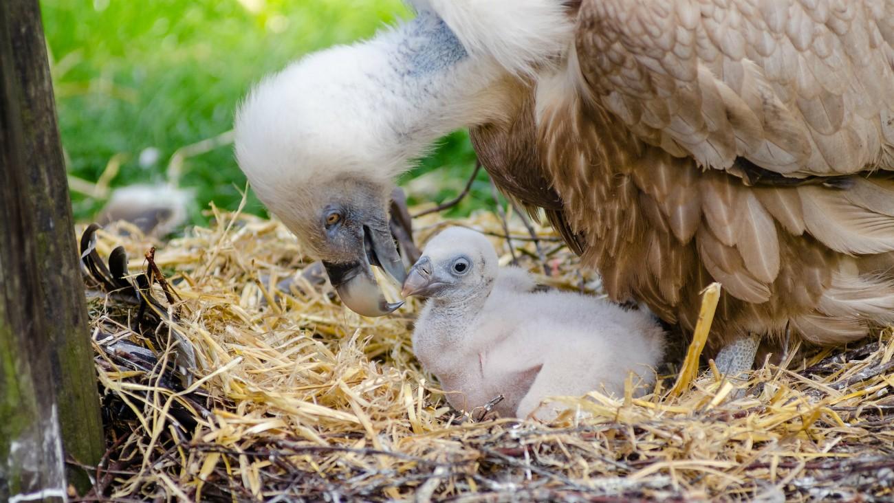 Bébé vautour