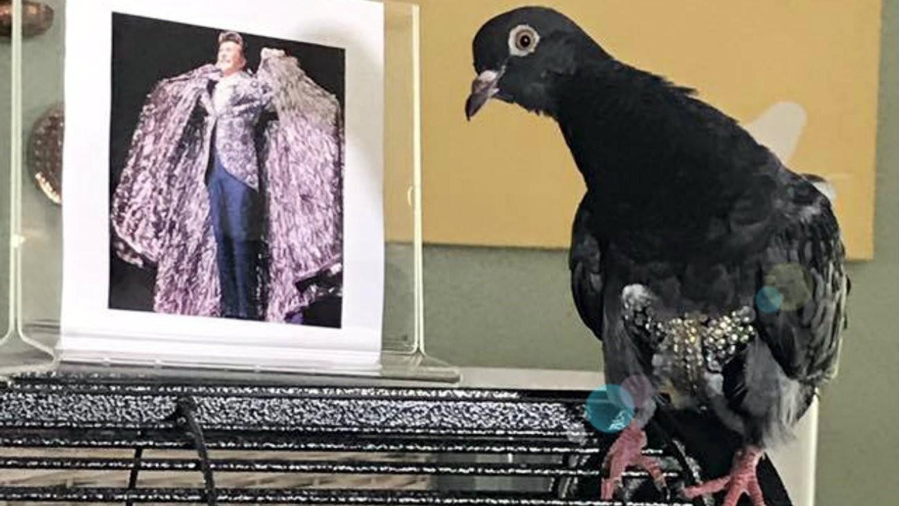 pigeon culotte paillettee liberace retrouve son humaine grace a la mobilisation en ligne